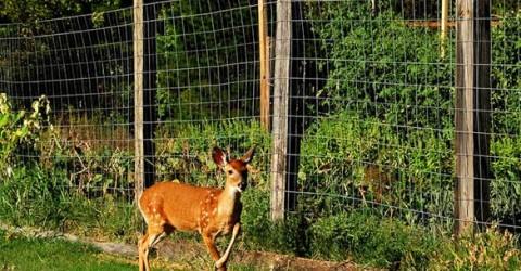 Cheap effective deer fence