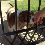 Wrought iron fencing - the difference tighter spacing can make is obvious here, as the dogs head fits through the upper wrought iron bars but not through the lower bars with the addition of more pickets at the bottom or a different cross wrought iron design.
